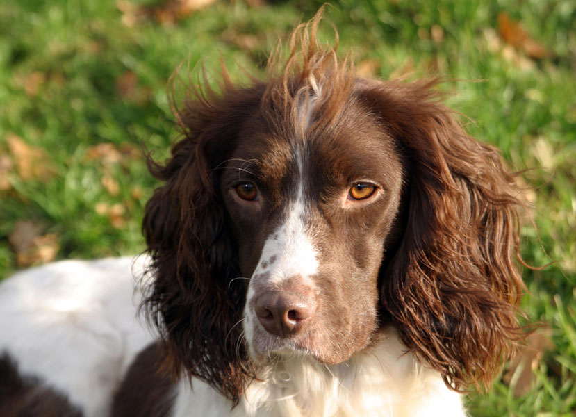 Springer Spaniel Brown...