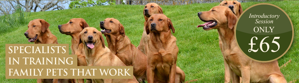Fox Red Labrador Gun Dogs in Scottish Country, Mordor Gundogs, Perthshire, Scotland