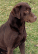 Nutella,                        Chocolate Labrador, Mordor Gundogs Stud Dog.