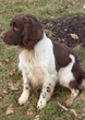 Dragon, English Springer Spaniel,                          Mordor Gundogs Stud Dog.
