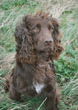 Flinty, Chocolate Cocker Spaniel,                          Mordor Gundogs Stud Dog.