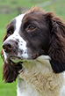 Boss, Liver & White English Springer Spaniel, Mordor Gundogs Stud Dog.