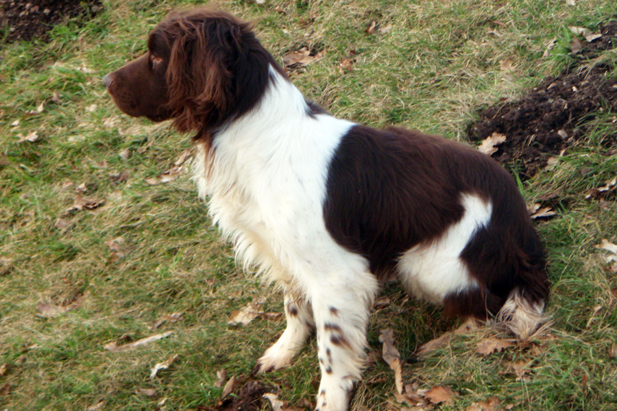 Stud Dogs - Dragon: English Springer Spaniel | Mordor