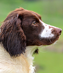 Stud Dogs - Musty: Liver & White English Springer Spaniel